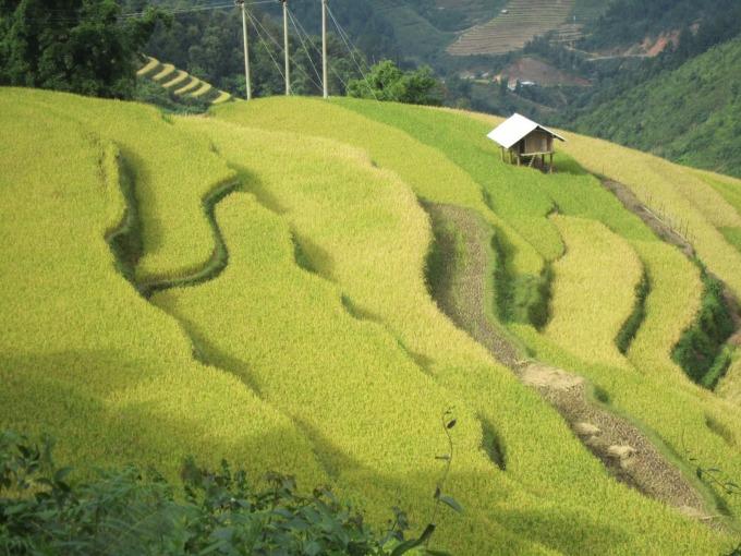 Terraced fields: About to ripen
